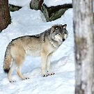I'm eyeing a possible lunch_Timber Wolf by Poete100