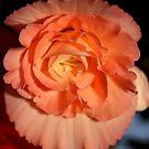 Apricot-pink Tuberous Begonia by Carole-Anne