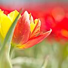 Two colour Tulip by Lindie Allen