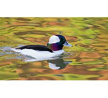 Bufflehead Male.. Photographic Print