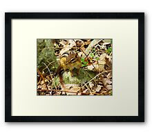 Eastern Chipmunk Chilling On A Rock Framed Print