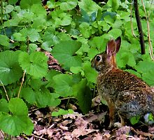 Eastern Cottontail Rabbit by SRowe Art