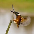 Kingfisher by Paul Spear