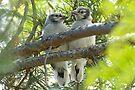 Baby Jays by Eivor Kuchta