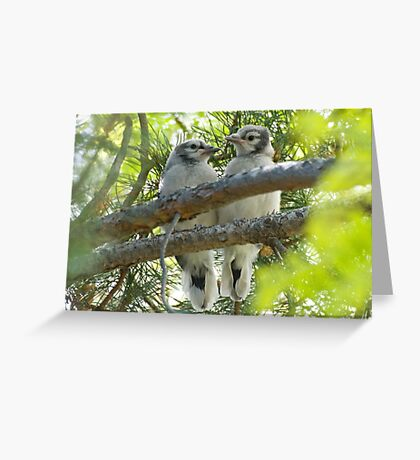 Baby Jays Greeting Card