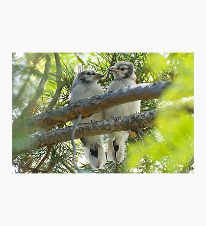 Baby Jays Photographic Print