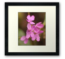 Stylidium Framed Print