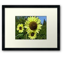 Sunflowers Little & Large  Framed Print