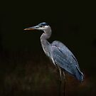 Great Blue Heron, Algonquin Park, Canada by Jim Cumming