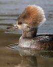 hooded merganser juvenile by Dennis Cheeseman