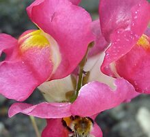 Bee On Snapdragon Flower by lynn carter