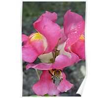 Bee On Snapdragon Flower Poster