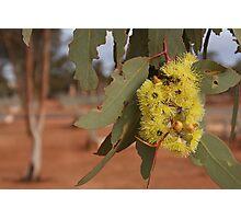 Goldfields Yellow Flowering Gum Photographic Print