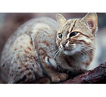 Rusty-Spotted Cat Photographic Print