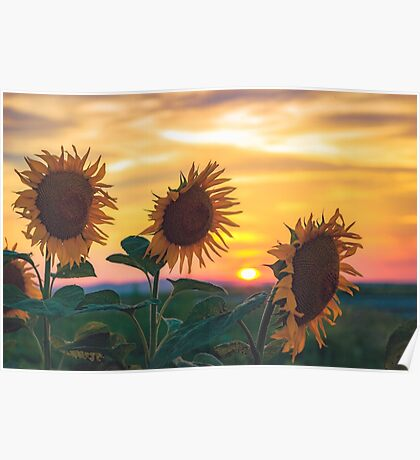Sunflowers During Sunset Poster