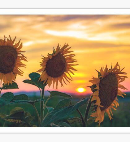 Sunflowers During Sunset Sticker