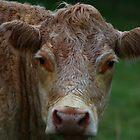 Cow by Laura Puglia