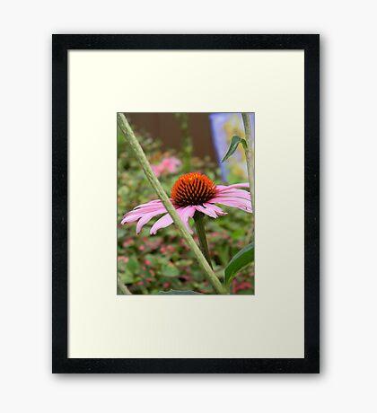 Pink Cone Flower Framed Print