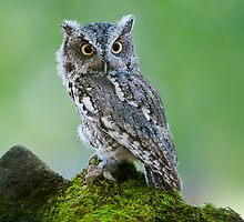Screech Owl on Rock by (Tallow) Dave  Van de Laar