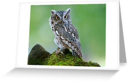 Screech Owl on Rock by (Tallow) Dave  Van de Laar