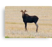 "Nice Young Bull Moose...""I'm a Handsome Dude"" Canvas Print"