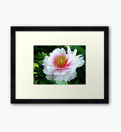 White Pink Peony Framed Print