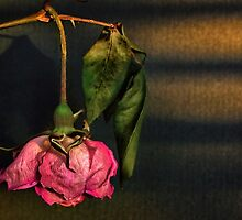 See the beauty in an ageing Rose by Clare Colins