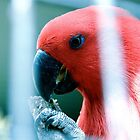 Eclectus by Fledermaus