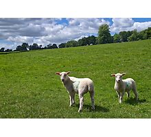 Lambs In Summertime 2 Photographic Print