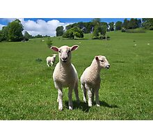 Lambs In Summertime 3 Photographic Print