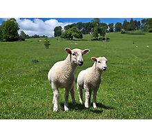 Lambs In Summertime 4 Photographic Print