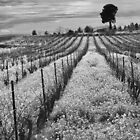 Black and white vines. by Paul Pasco