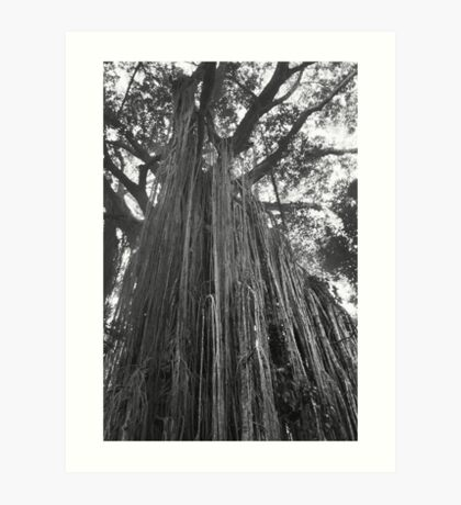 Curtain Fig Tree Art Print