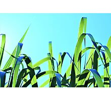 Grasses In The Light - Blue  Photographic Print