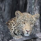 Young female leopard by Pauline Adair