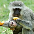 GROWNUPS ALWAYS GETS THE BEST - Vervet Monkey, (CERCOPITHECUS PYGERYTHRUS) by Magriet Meintjes