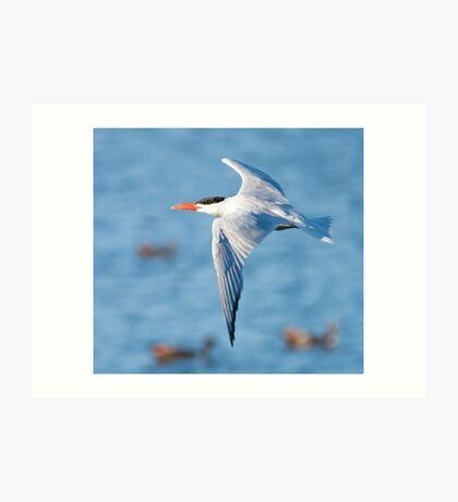 Tern in Flight Art Print
