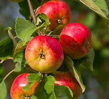 Garden apples by Forestpictures