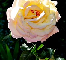 Peace Rose by Sally Murray