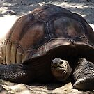 Galapagos Tortoise by Steven Guy
