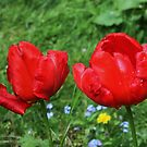 Two Red Tulips by AnnDixon