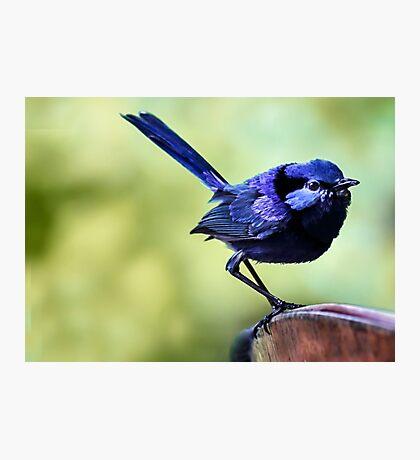 Splendid Blue Fairy Wren Photographic Print