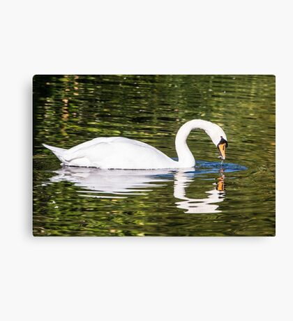 Swanning around Canvas Print