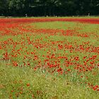 poppies by posterCards