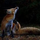 Red Fox itch - Algonquin Park, Canada by Jim Cumming