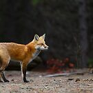 Red Fox Landscape - Algonquin Park, Canada by Jim Cumming