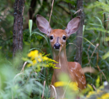 Fawn Hiding - White tailed deer Sticker