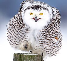 Happy Feet - Snowy Owl by Jim Cumming