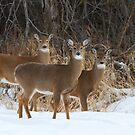 Do Ra Me - White-tailed deer by Jim Cumming