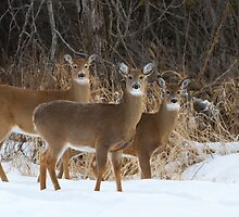 Do Ra Me - White tailed deer by Jim Cumming